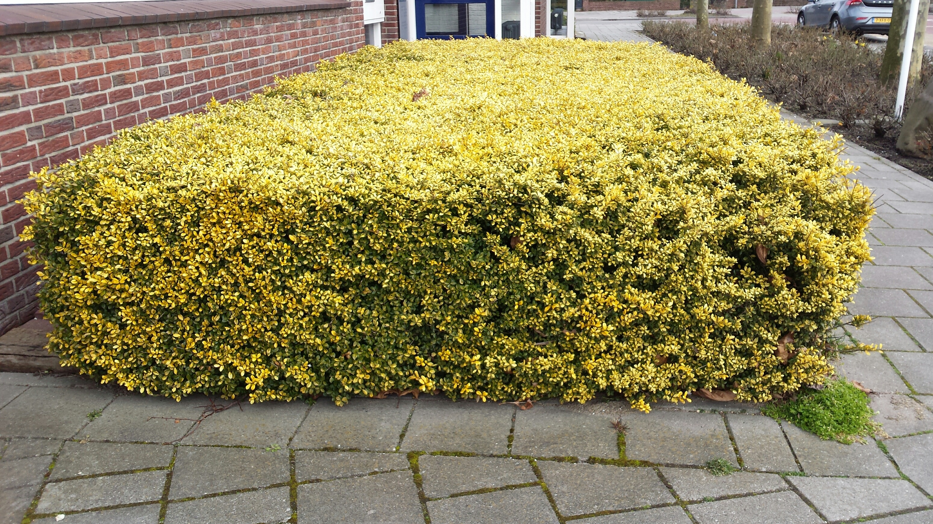 Ilex Crenata Golden Gem topiary | ron le poole