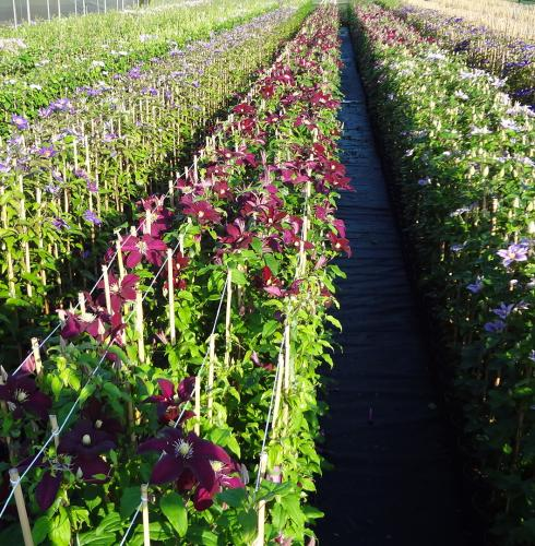 Clematis production field 2L - Shrubs and climbers