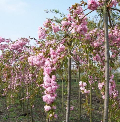 Ornamental Trees - Prunus serr. Kiku shidare 10-12 - by Ron Le Poole Holland