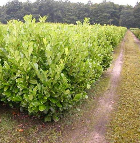 Prunus l Rotundifolia 150-175 -Hedging - by Ron Le Poole - Holland