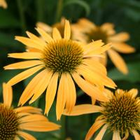 Echinacea 'Harvest Moon' - by Ron Le Poole Holland