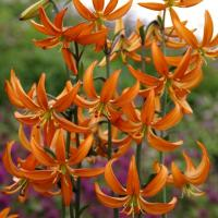 Lily Orange Marmalade - by Ron Le Poole Holland