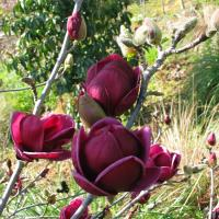 Magnolia 'Genie' - by Ron Le Poole Holland