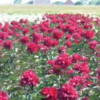 Paeonia 'Big Red Boomer' - by Ron Le Poole Holland
