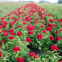 Paeonia 'Red Charm' - by Ron Le Poole Holland