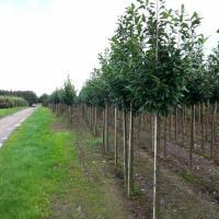 Prunus laur. 'Novita' - by Ron Le Poole Holland