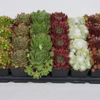 Rockery Plants - by Ron Le Poole Holland