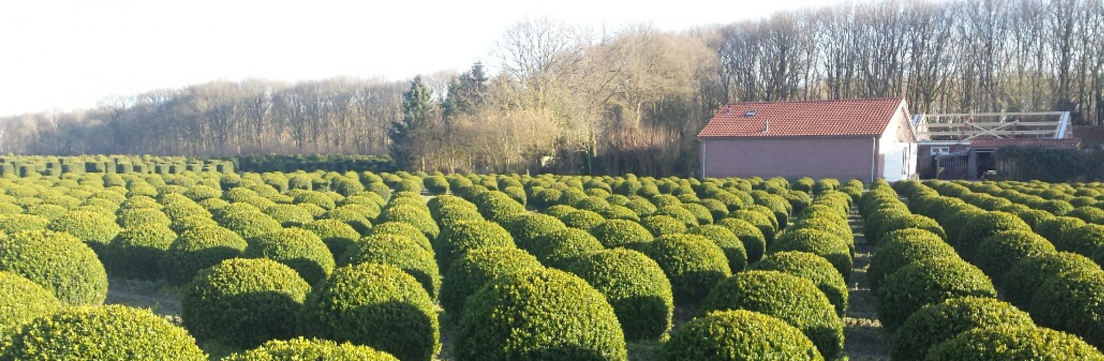 Buxus sempervirens ball - Ron Le Poole - Holland